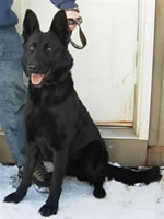 Hetja vom grafental a solid black German Shepherd breeding female for von Hena-C kennels.