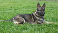 Kindra von Shattig Geholz CGC, RN a breeding German Shepherd female in our Foster Program.