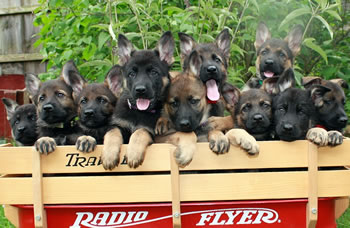 2011_Oso_puppies