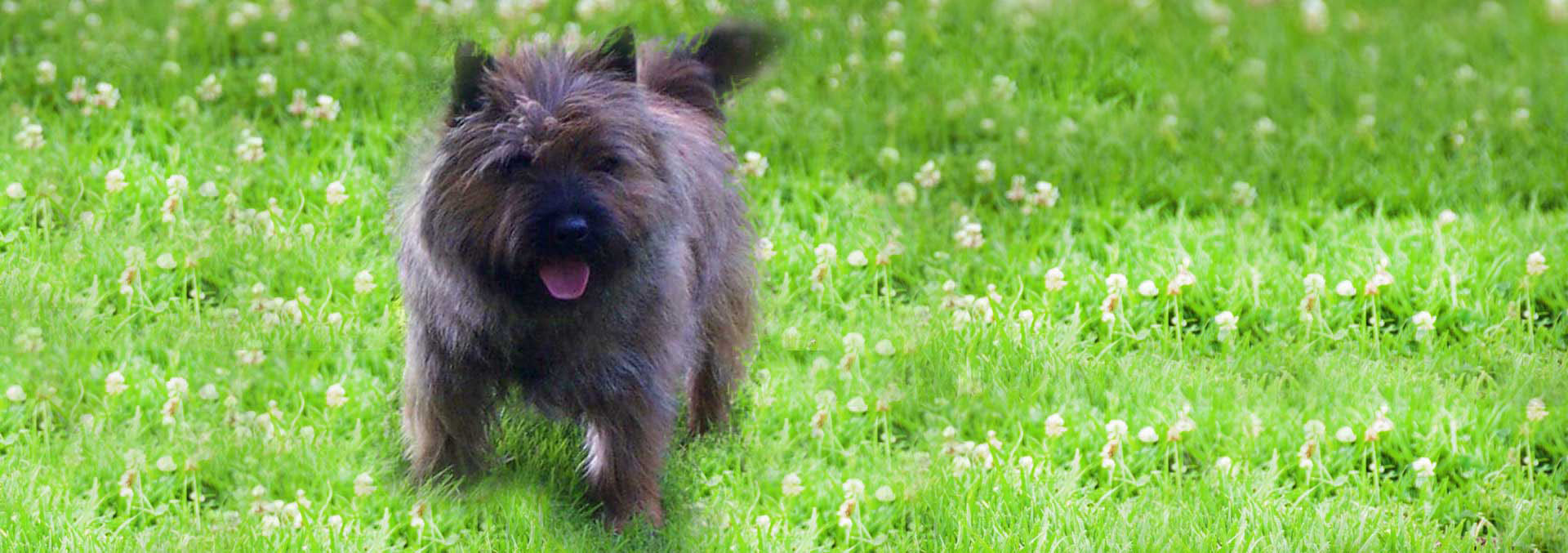 von Hena-C - NH German Shepherd & Cairn Terrier Breeder