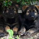 5 weeks, black sable girls, out of Ako, grandparents: Gunda x Rieko.
