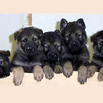 Destiny x Ako's puppies. 4 1/2 weeks old. Dark red sables.