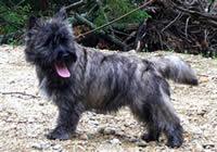 Cairn Terrier Gallery | vonhena-c