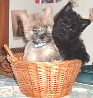 Cairn Terrier puppies in a basket.