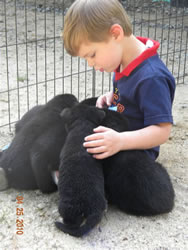 3 1/2 year old Dylan with German Shepherd puppies.