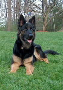 Dark black/red long coat German Shepherd.