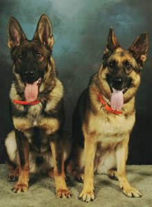 Red sable normal coat (left) & traditional black and tan normal coat (right).